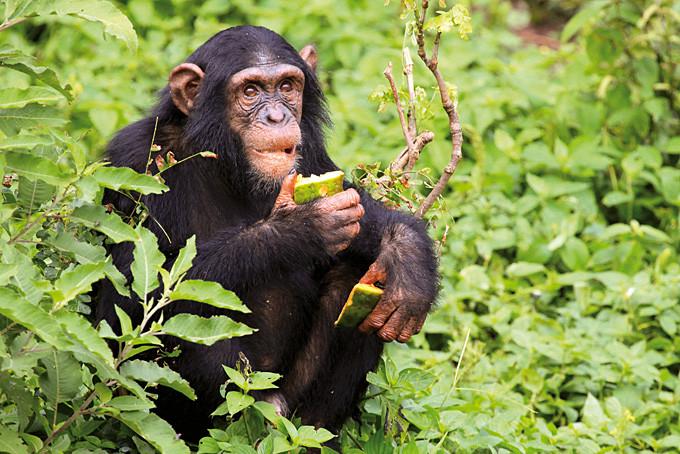 Schimpansen lieben Früchte, Nüsse und Blätter