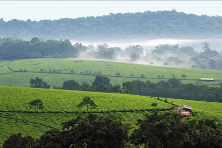 Teeplantagen in Bwindi