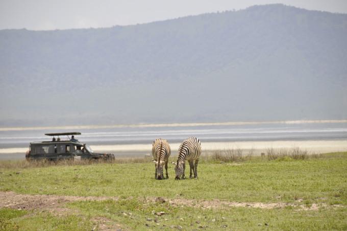Zebras grasen beim «Hippo Pool»