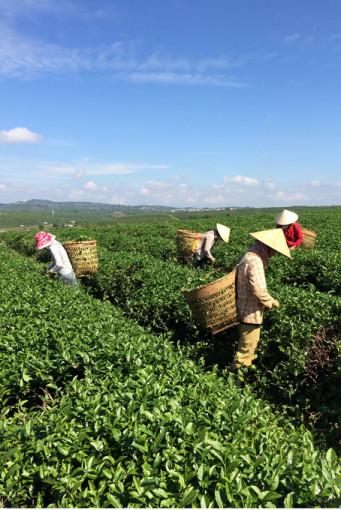 Dalat, Teepflückerinnen
