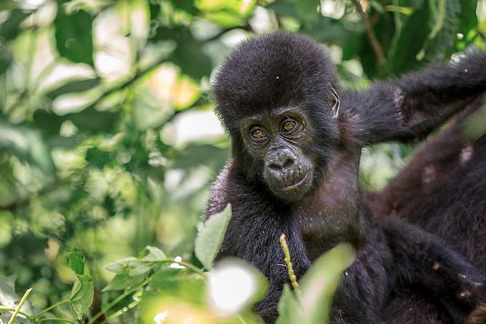 Der «Jö-Effekt» für das flauschige Gorillababy ist gross