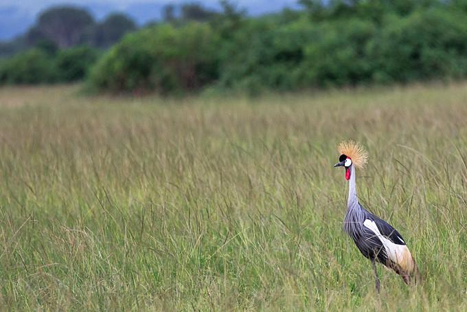 Der Kronenkranich - Wappentier Ugandas
