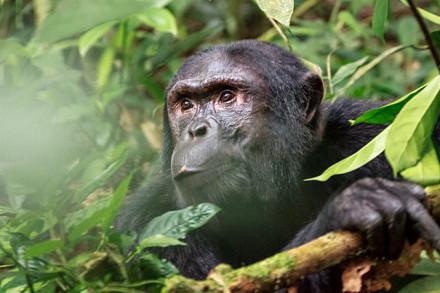 Die Wanderung im Kibale Nationalpark hat sich gelohnt: Wir sehen doch noch Schimpansen