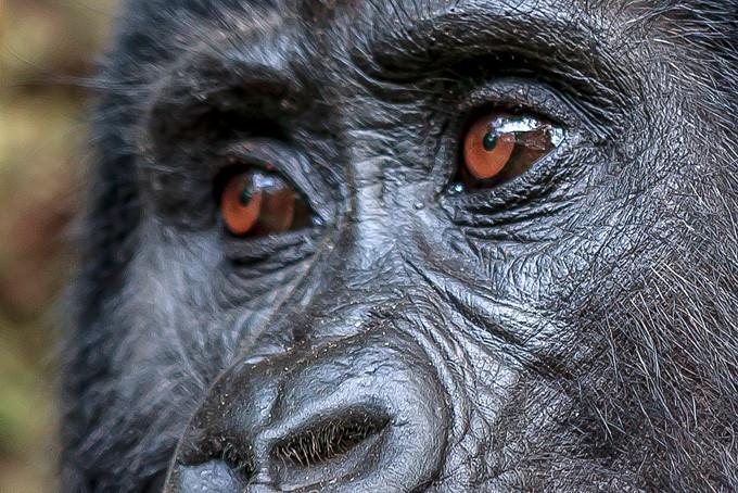 Aug' in Aug' mit einem Berggorilla im Bwindi Nationalpark