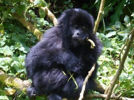 Beobachtung der Gorillas