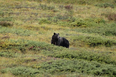 Grizzley im Denali Nationalpark