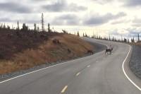 Karibus auf dem «Top of the World Highway»