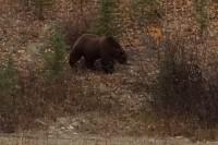 Bär in der Nähe von Whitehorse