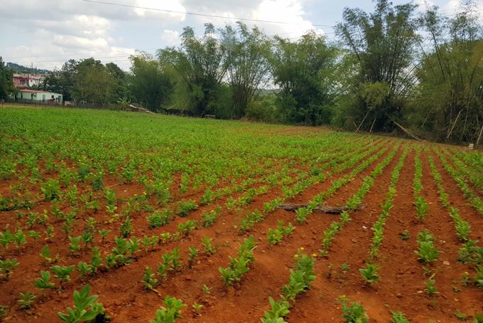 Champs de tabac dans la vallée de Viñales