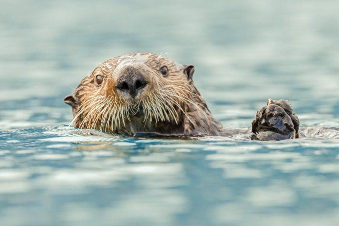 Otter in Morro Bay
