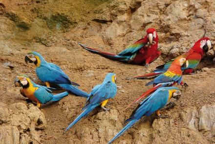 Aras in Peru