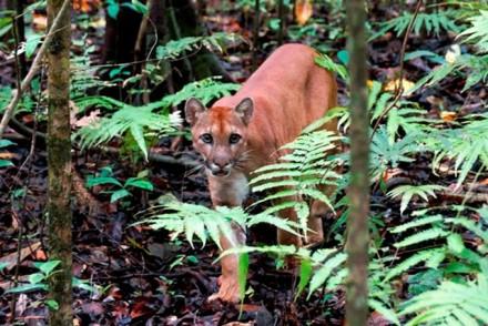 Auge-in-Auge-mit-der-Raubkatze-am-Tag-12-im-Corcovado-Nationalpark_2