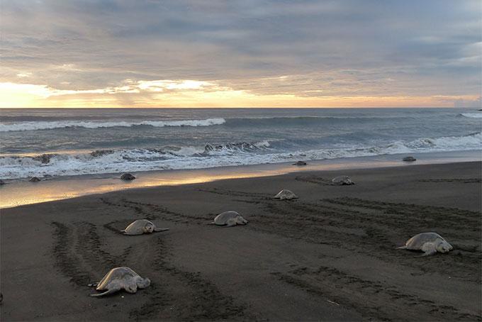 Schildkröten «Arribada» an der Pazifikküste von Costa Rica