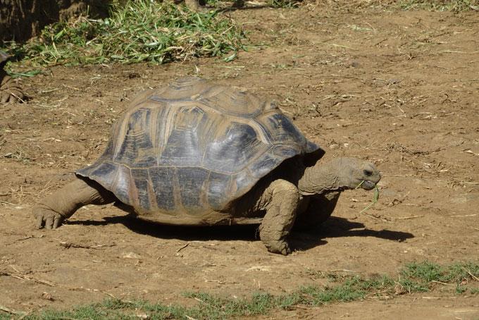 Schildkröten bei Chamarel