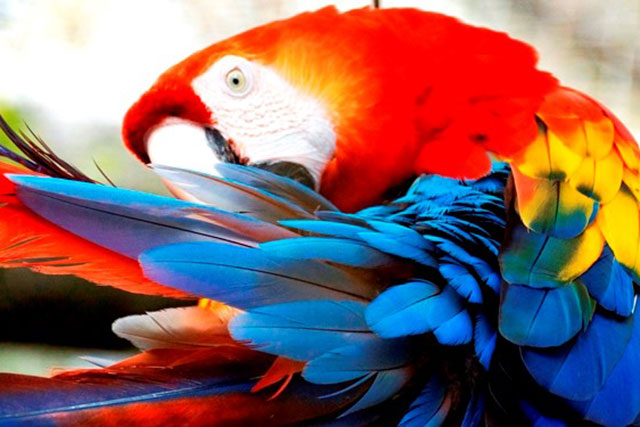 Ein Roter Ara-Papagei