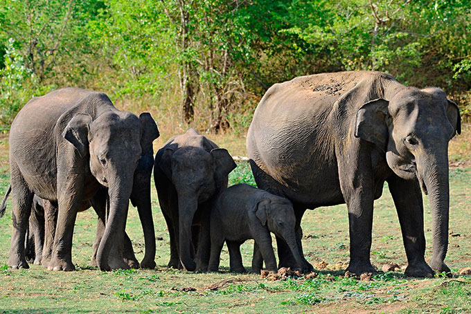 Elefanten im Minneriya National park