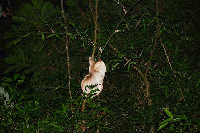 Faultier im Baumwipfel