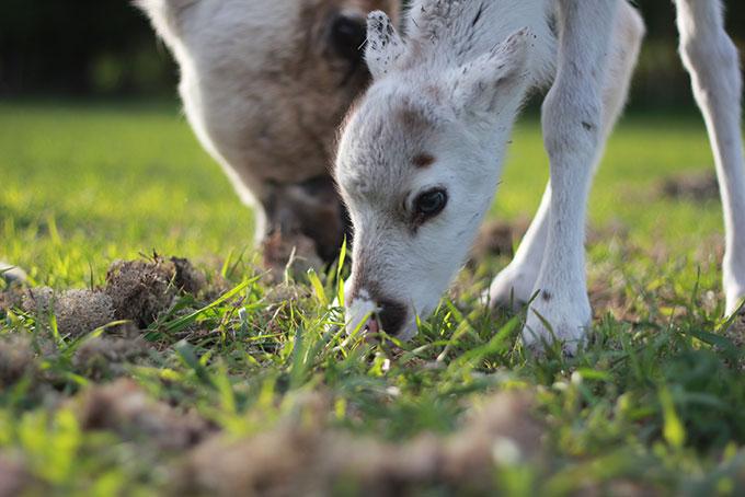 Lumi, notre bébé renne