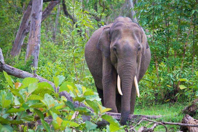 Indien_Karnataka_wilder_indischer_elefant
