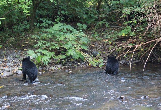 Junge Schwarzbären beim überqueren des Flusses
