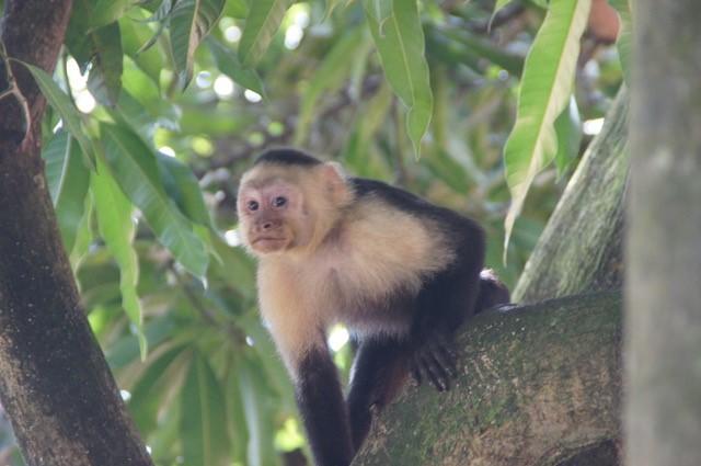 Kapuzineräffchen im Manuel Antonio Nationalpark