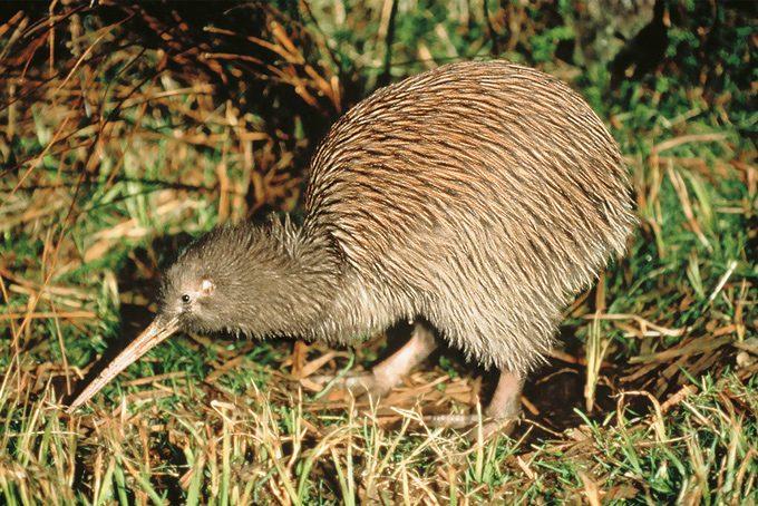 Der Kiwi, das Nationaltier Neuseelands