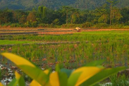 Reisfeld Laos