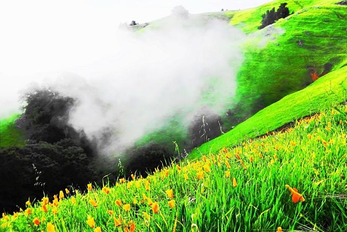 Eine statt grüne Wiese mit orangen California Poppies und Nebelschwaden
