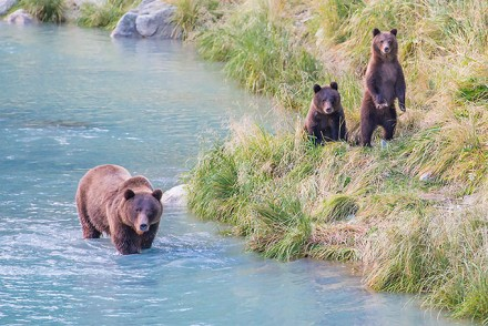 Alaska Grizzly Bears Cubs / Copyright Beat Glanzmann