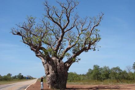 Baobab Baum in Australien