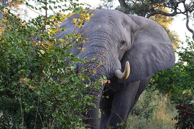 Noch etwas schüchtern zeigt sich der afrikanische Riese