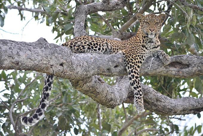 Ein Leopard ruht sich auf dem Baum aus