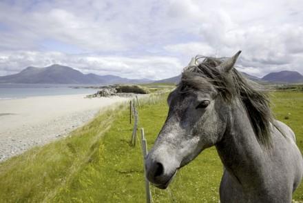 Ein Connemara Pony
