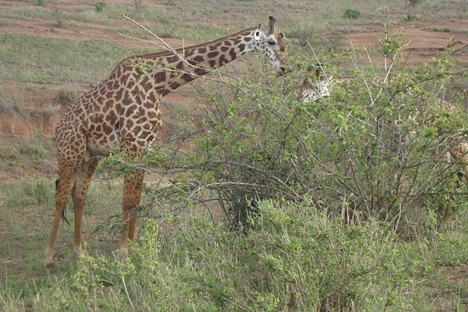 Giraffe im Tsavo Nationalpark