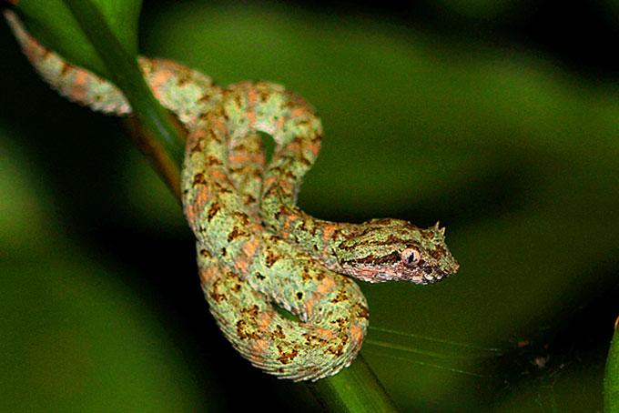 Eyelash Palm Pitviper - sehr giftig