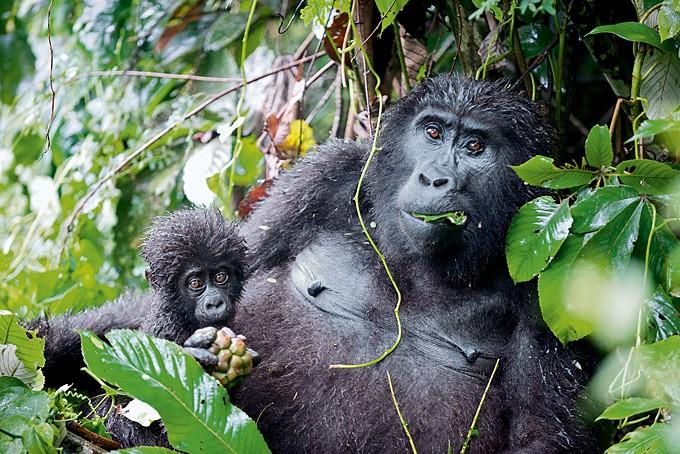 Auge in Auge mit den Berggorillas in Uganda