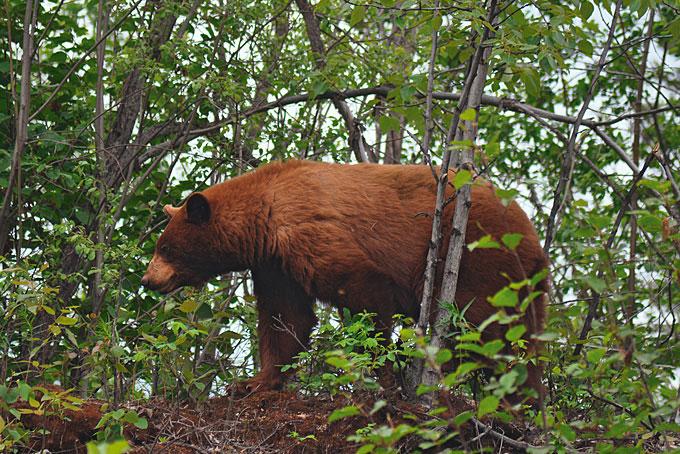 Ein Grizzly auf  der McCarthy Road gesichtet
