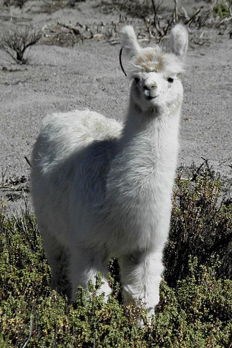 Junge Alpaka