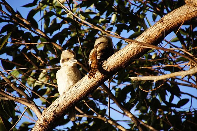Kookaburras, Warren Nationalpark