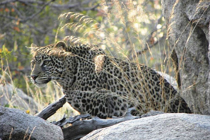 Leopard im Ruaha