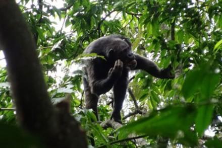 ruanda schimpansentrekking im nyungwe