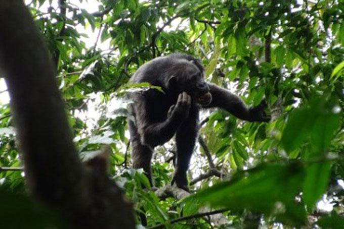 Schimpansen- und Gorilla-Trekking in Ruanda