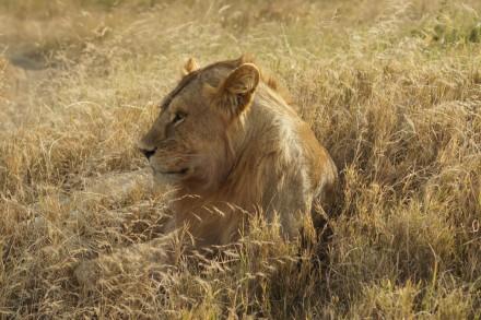 Unvergessliche Tage in der Serengeti