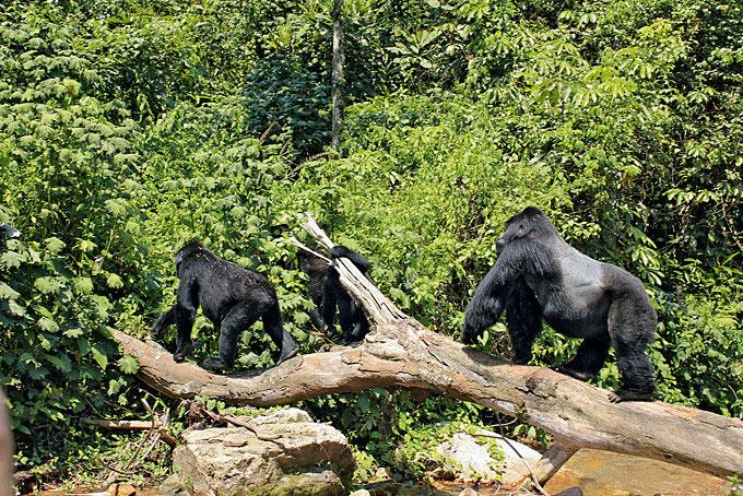 Im Bwindi Nationalpark Ugandas