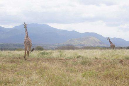 Auf Safari im Tsavo Nationalpark