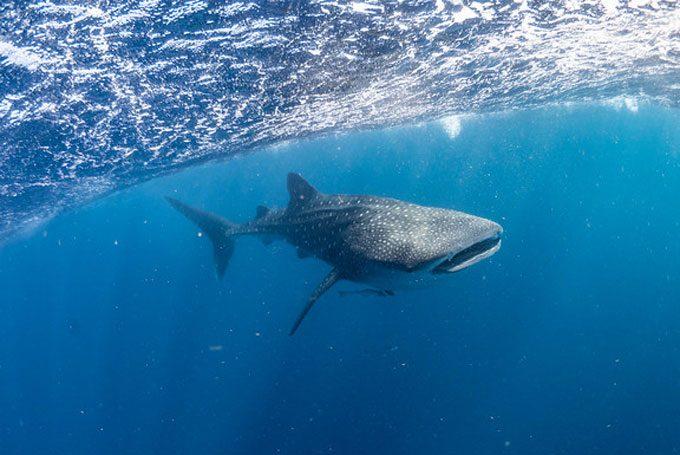 Freundlicher und harmloser Walhai