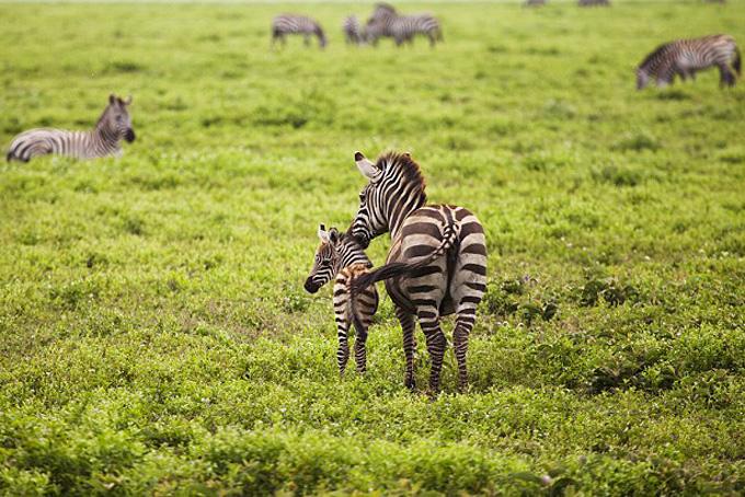 Migration in der Serengeti und in der Masai Mara